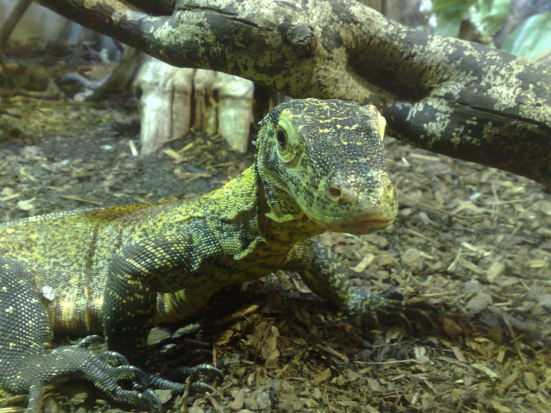 A baby Komodo dragon born by parthenogenesis, photographed at Chester Zoo (CC BY-SA, Wikipedia user Neil)