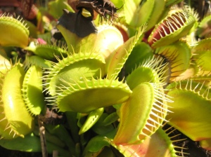 A cluster of Venus fly traps