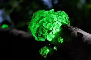 The saprobe Panellus Stipticus displaying bioluminescence