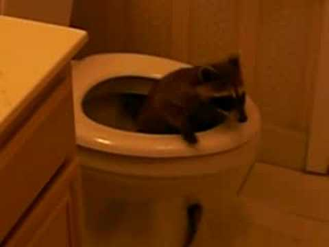 Scary raccoon in my toilet in the middle of the night